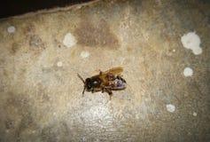 Пчела летая меда пчелы меда стоковое изображение rf