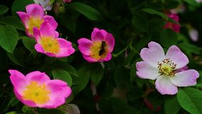 Пчела летая над зацветенным brier сток-видео