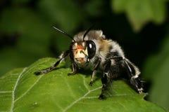 Пчела макроса Стоковое Фото