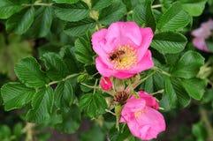 Пчела меда в цветке японского подняла Стоковое фото RF