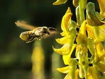 Пчела меда замерзая - принимать нектар стоковые изображения