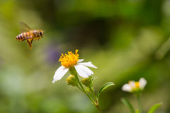 Пчела меда летания Стоковые Фото