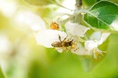 Пчела меда на белом цветке и собирать polen Пчела летания Одно летание пчелы во время дня солнечности насекомое Стоковое Изображение RF