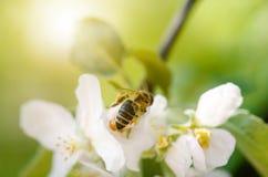 Пчела меда на белом цветке и собирать polen Пчела летания Одно летание пчелы во время дня солнечности насекомое Стоковые Фото