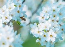 Пчела меда на вишневом цвете весной с мягким фокусом, se Сакуры Стоковые Изображения RF