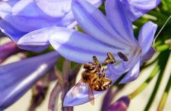 Пчела меда на голубом и фиолетовом цветке стоковые фото