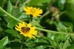 Пчела меда на желтом похожем на маргаритк wildflower в Таиланде стоковые изображения rf