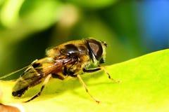 Пчела меда на зеленых листьях стоковое фото rf