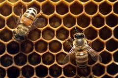 Пчела меда на крапивнице в Юго-Восточной Азии стоковые фото