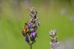 Пчела меда на лаванде, конце вверх по макросу стоковое изображение