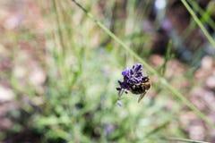 Пчела меда на цветении лаванды Стоковая Фотография RF