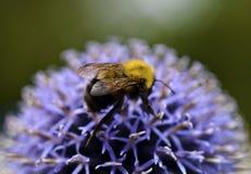 Пчела меда на цветении Thistle стоковое изображение