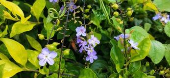 Пчела меда на цветках стоковая фотография