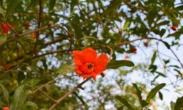 Пчела меда на цветке гранатового дерева стоковые изображения