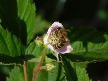 Пчела меда опыляя розовый цветок с blured предпосылкой листьев стоковые изображения rf