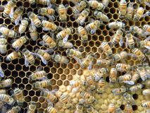 Пчела меда покрыла куколок и личинку стоковое изображение rf
