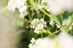 Пчела меда собирает нектар против предпосылки белых цветков r стоковые фотографии rf