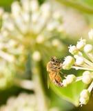 Пчела меда собирая цветень на запачканной предпосылке bokeh Стоковое Изображение