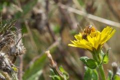 Пчела меда собирая цветень от желтого завода стоковые фото