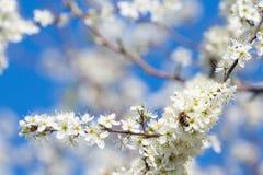 Пчела меда собирая цветень от цветков Природа весны Пчела собирает нектар от белых цветков стоковая фотография