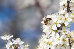 Пчела меда собирая цветень от цветков i Пчела собирает нектар от белых цветков стоковое изображение rf