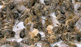 пчела мертвая Стоковая Фотография RF