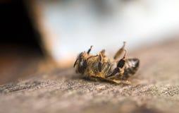 пчела мертвая стоковые фото