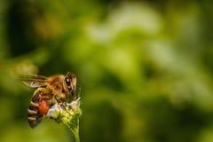 Пчела на белом цветке собирая цветень и собирая нектар к Стоковое Фото