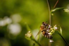 Пчела на белом цветке собирая цветень и собирая нектар к Стоковая Фотография RF