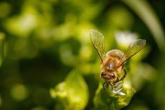 Пчела на белом цветке собирая цветень и собирая нектар к Стоковое фото RF