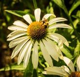 Пчела на белом Coneflower Стоковые Фотографии RF