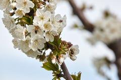 Пчела на белых цветенях вишневого дерева Стоковая Фотография