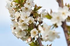 Пчела на белых цветенях вишневого дерева Стоковая Фотография RF