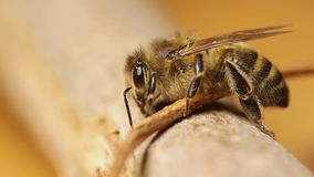 Пчела на ветви сток-видео