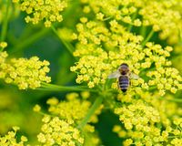 Пчела на взгляде пастернака сверху Стоковые Фото