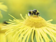 Пчела на желтом конце цветка вверх стоковое изображение