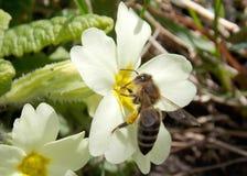 Пчела на желтом цветке Стоковое Фото