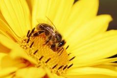Пчела на желтом цветке Maruertie стоковая фотография