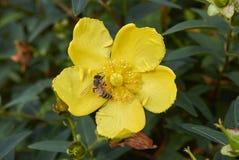 Пчела на желтом цветке patulum зверобоя стоковое изображение