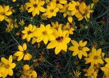Пчела на желтых цветках с темной ой-зелен предпосылкой стоковые фотографии rf