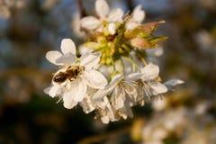 Пчела на заходе солнца Стоковые Фото