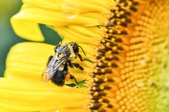 Пчела на зацветая солнцецвете, яшме, Georgia, США стоковые фото