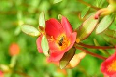 Пчела на красном цветке стоковое фото rf