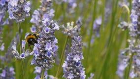 Пчела на лаванде акции видеоматериалы