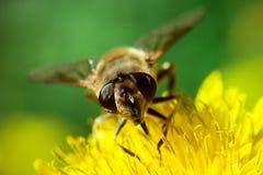 Пчела на одуванчике Стоковая Фотография RF