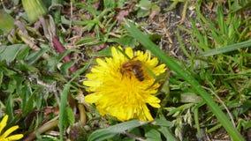 Пчела на одуванчике 2 стоковые фото