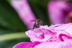 Пчела на пионе стоковые изображения