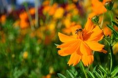 Пчела на работе цветка космоса многодельной Стоковая Фотография