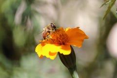 Пчела на работе, шмеле на работе 7 Стоковые Фото