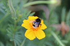 Пчела на работе Стоковые Фотографии RF